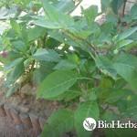 Μπελαντόνα (Atropa Belladonna)