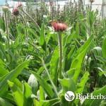 Echinacea (Echinacea angustifolia)