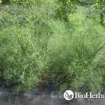 Μάραθος (Foeniculum vulgare)