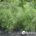Fennel (Foeniculum vulgare)