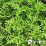 Αρμπαρόριζα (Geranium roseum)