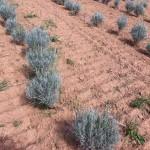 Λεβάντα (Lavandula angustifolia hemus)