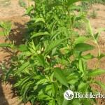 Δυόσμος (Mentha spicata)