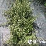 Ματζουράνα (Origanum majorana)
