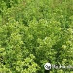 Oregano (Origanum vulgare ssp. Hirtum)