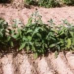 Φασκόμηλο (Salvia)
