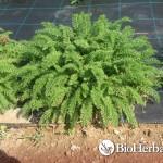 Αχιλλέα (Achillea millefolium)