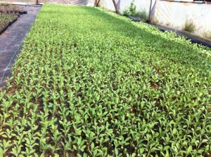 Φυτώριο, Καμπάνη Κιλκίς, φασκόμηλο (salvia officinalis)