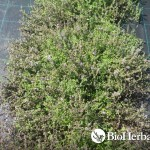 Φλισκούνι (Mentha pulegium)